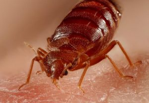 Bed Bugs Control Services In Kenya