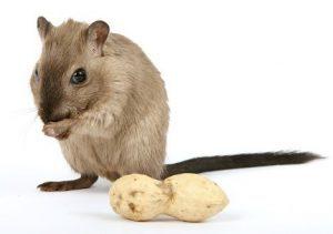 Mice & Rat Control